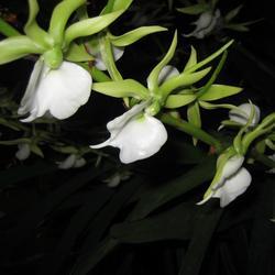 Angraecum eburneum var. superbum