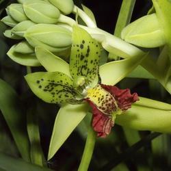 Cymbidiella pardalina