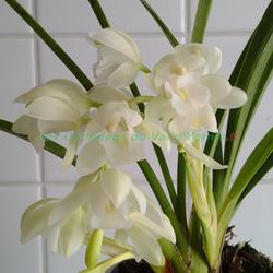 achat orchidees ligne. Black Bedroom Furniture Sets. Home Design Ideas