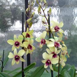 Dendrobium phalaenopsis Banana Chocolate