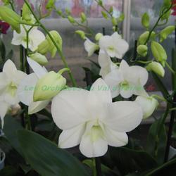 Dendrobium phalaenopsis White Surprise