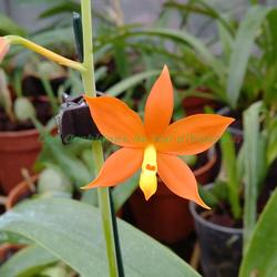 Encyclia vitellina