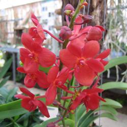 Kagawara Samrerng 'Scarlet Red'