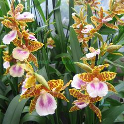 Miltonia Golden Wonder