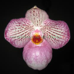 Paphiopedilum Magic Lantern