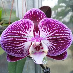 Phalaenopsis Anastacia