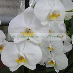 Phalaenopsis Cambridge