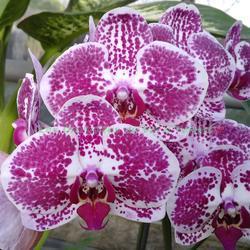 Phalaenopsis Chain Xen Pearl