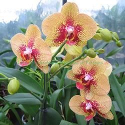 Phalaenopsis Charmer