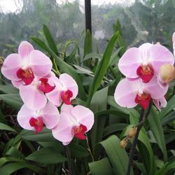 Phalaenopsis Cyrene