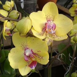 Phalaenopsis Dragon