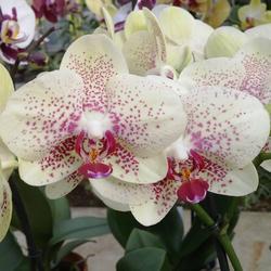 Phalaenopsis Pebble Beach
