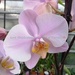 Phalaenopsis Salinas