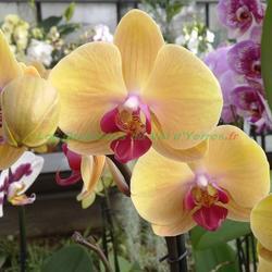 Phalaenopsis Solid Gold