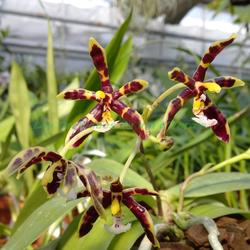 Phalaenopsis mannii 'Black'