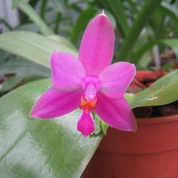 Phalaenopsis violacea var. sumatra