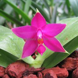 Phalaenopsis violacea x sumatra