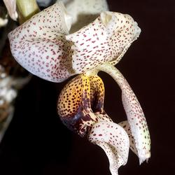 Stanhopea napoensis